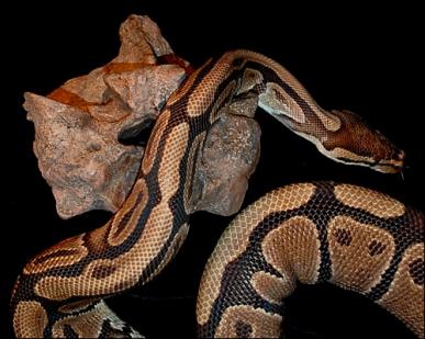 python-titanoboa-vertebra