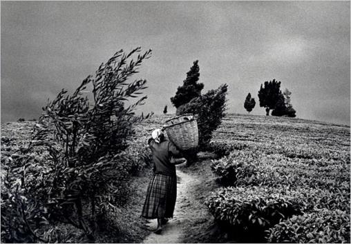 Salgado Plantación de Té