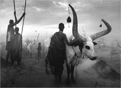 Salgado Sudan herds