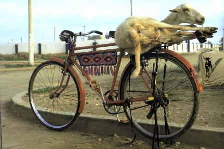 chivo-bici-uribia