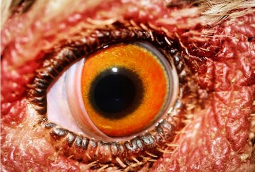 Papaya Eye